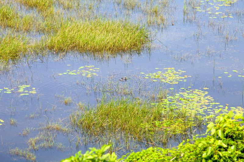 Thickets of reeds and water lilies and swimming ducks on Skandar Lake stock photo