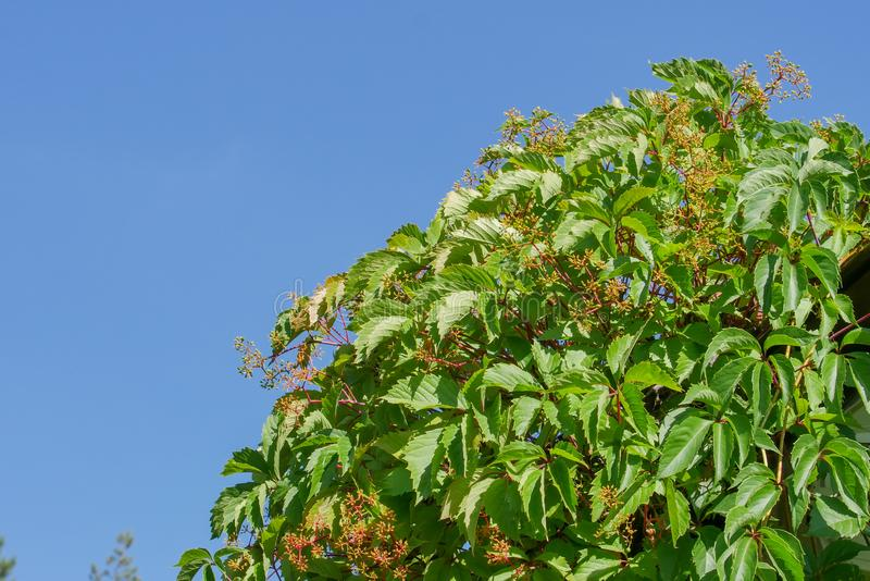 Thickets of wild grapes against the blue summer sky in the morning. Natural background of green leaves. stock photography