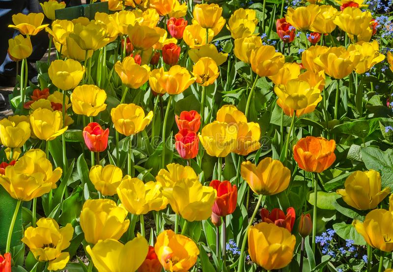 Thickets of yellow and red tulips in the garden stock images