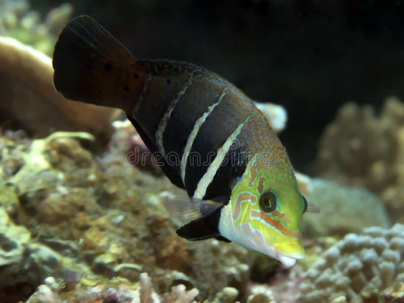 Thicklip barrado pescados coralinos imagen de archivo libre de regalías