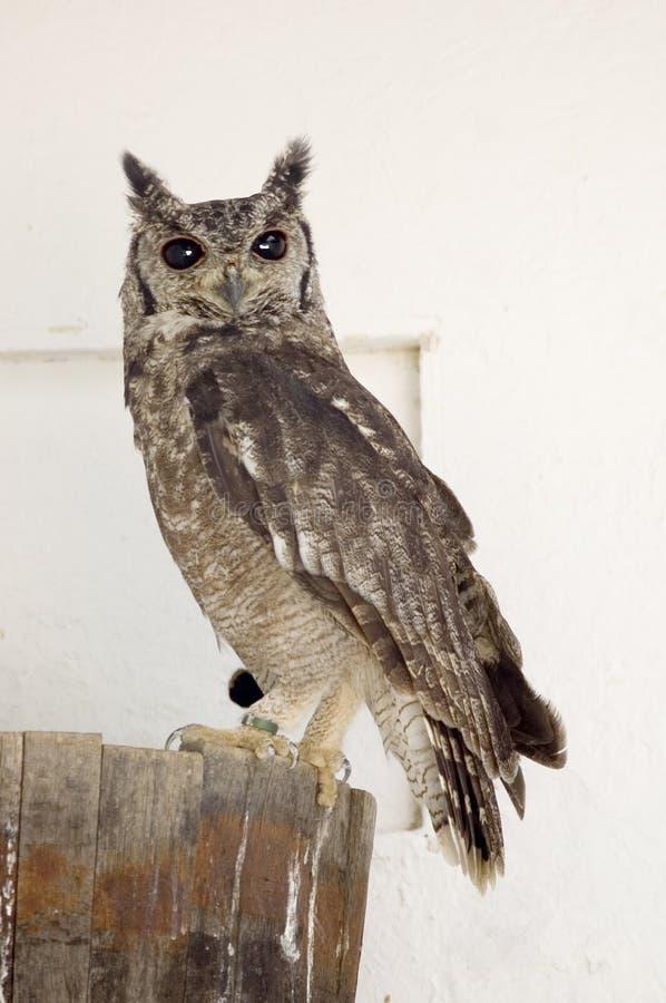 Thighed Owlrufus Arkivbild