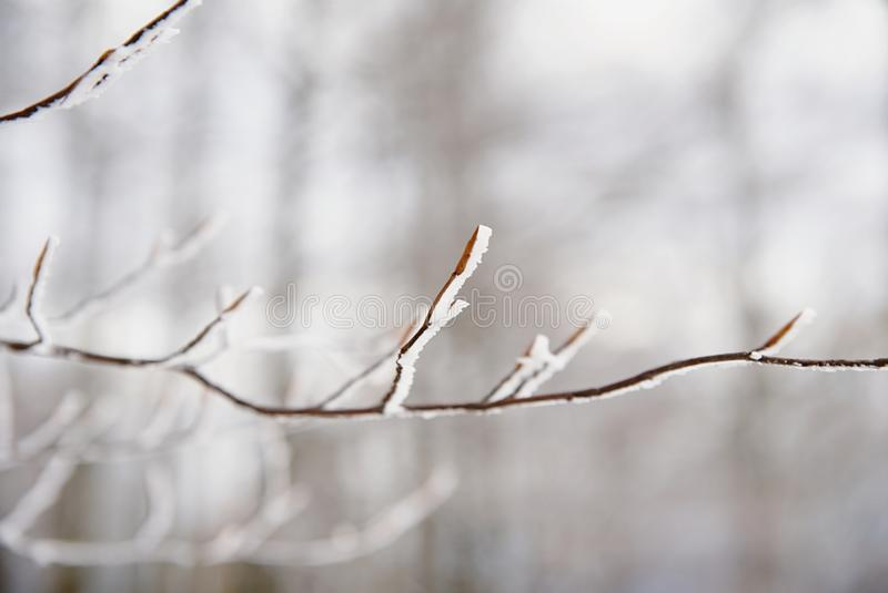 Autumn leaves of beech treeon a tree branch in winter stock photography