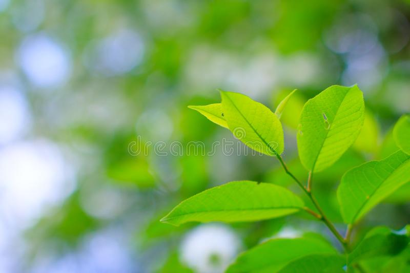 Thin branch with young green leaves of bird cherry tree at spring evening of May. Macro photography with smooth bokeh. royalty free stock photo