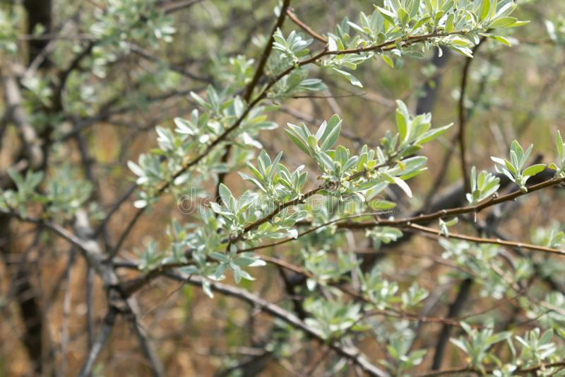 Thin branches of sea buckthorn with young densely growing leaves in spring.  royalty free stock photos