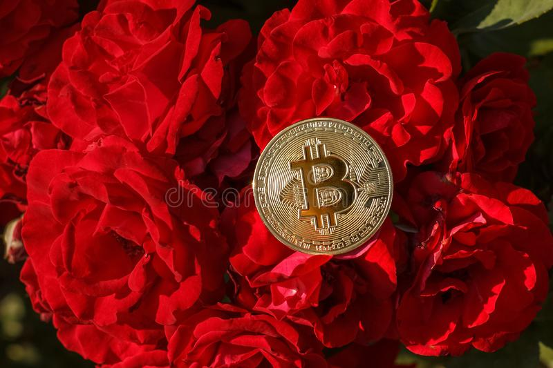 A thin Golden Coin of bitcoin is laying down on the rose flowers. The big and golden bitcoin was located on the red rose flower. royalty free stock photography