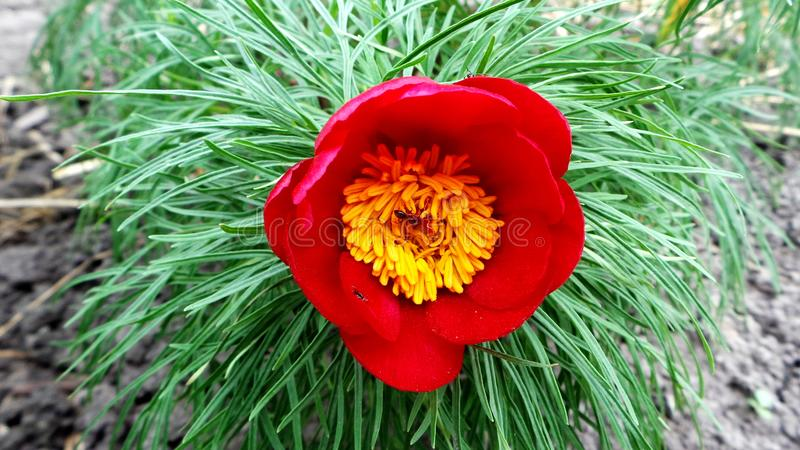 Thin-leaved peony at the time of spring flowering in the garden close-up royalty free stock photos