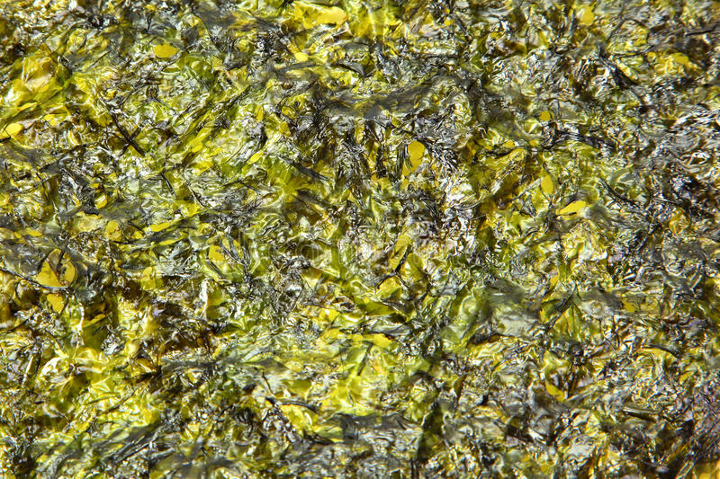 Download Thin Seaweed Sheet Fried In Olive Oil Stock Photo - Image: 26432726