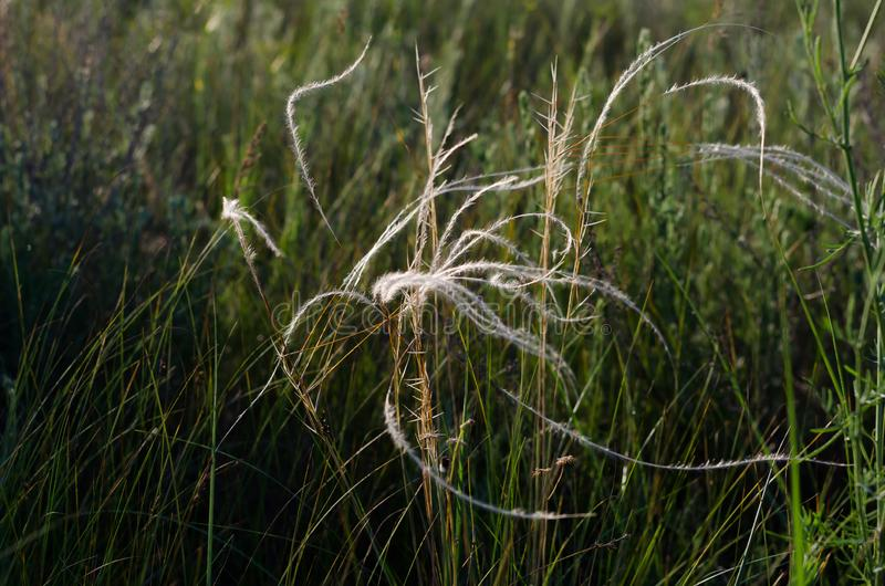 Silver threads of a feather grass sway the summer warm wind royalty free stock photo