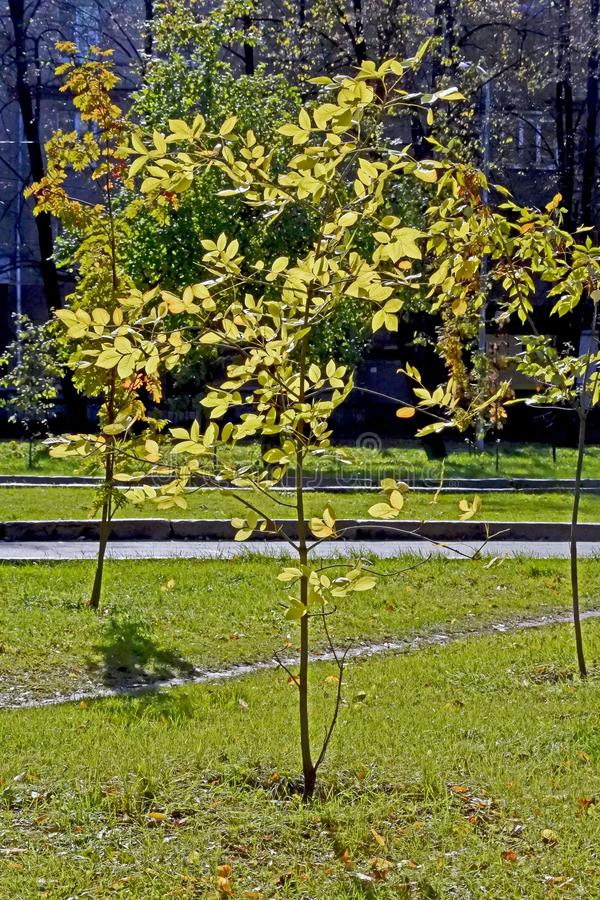 Thin young tree with yellow autumn leaves royalty free stock images