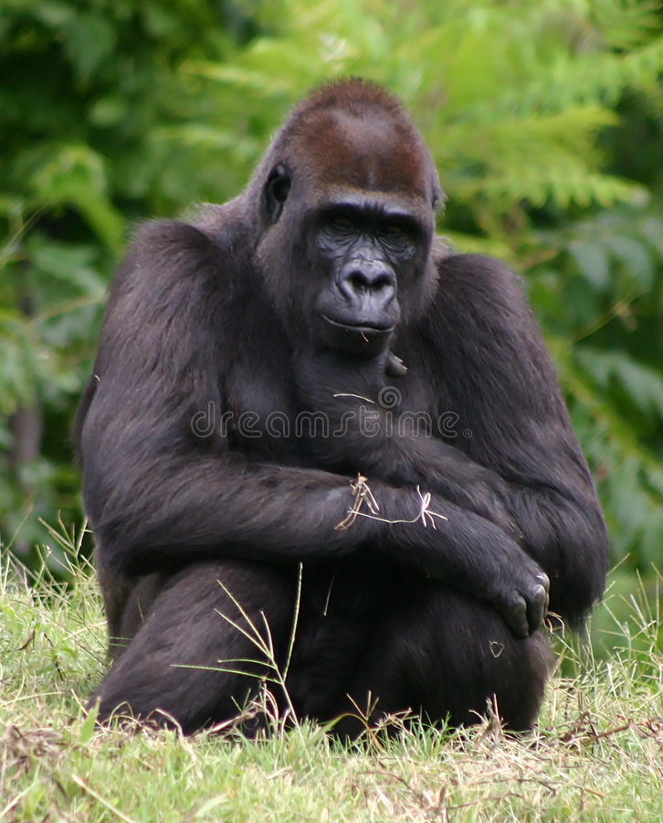 The thinker. A gorilla doing his best impersonation of the thinker statue. set against a blurred background of trees with green gass at the bottom