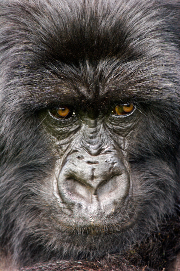 The Thinker. Rwandan Mountain Gorilla in natural setting. Canon 20D/ Canon 100-400 royalty free stock images