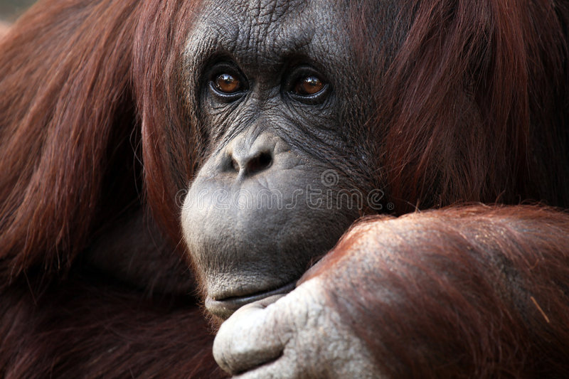 Download The Thinker stock photo. Image of species, mammal, nature - 8465500