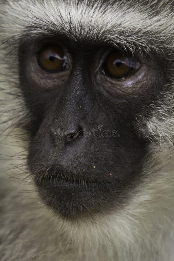 Download Thinking Monkey stock image. Image of masai, chimpanzee - 22785237