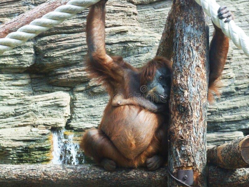 Download Thinking monkey stock photo. Image of hand, dwelling, animals - 8343488