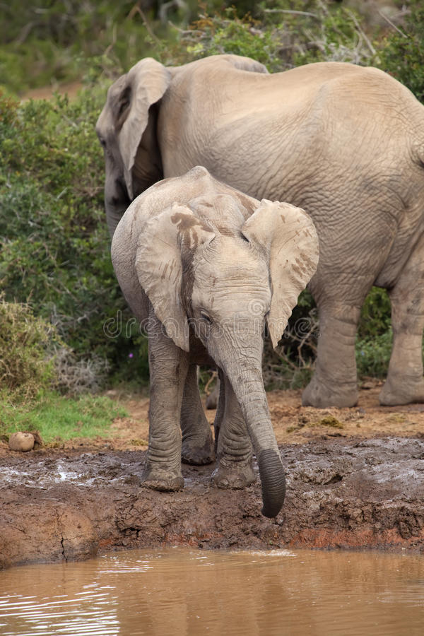 Thirsty Baby Elephant stock photography