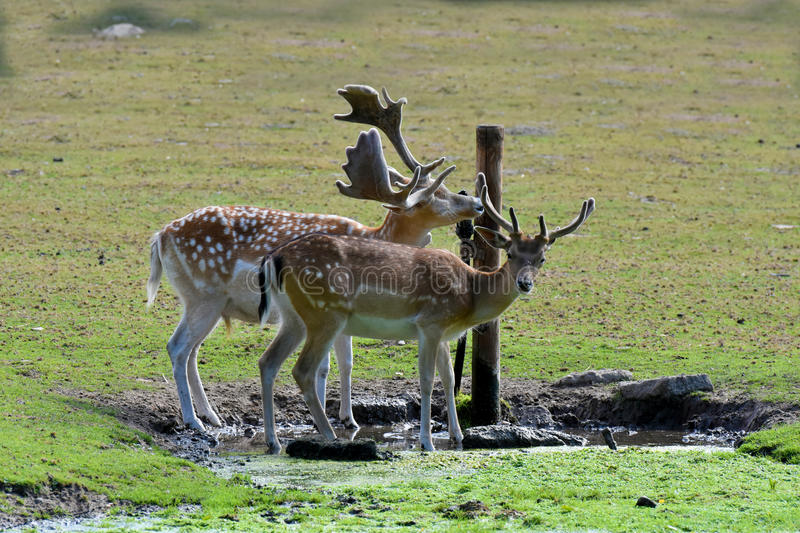 Thirsty black fallow deers. Drinking at water place stock photo