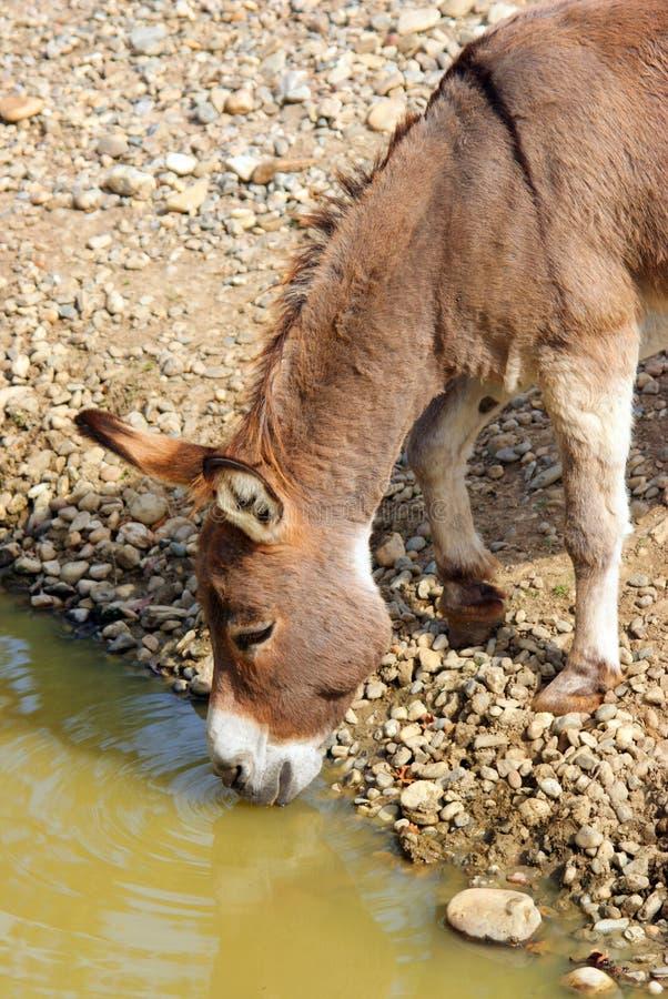 Thirsty donkey royalty free stock photos