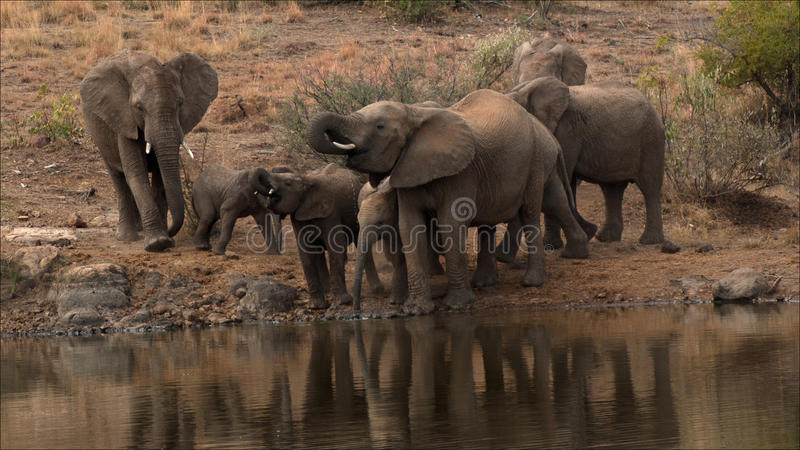 Thirsty Elephants group stock image