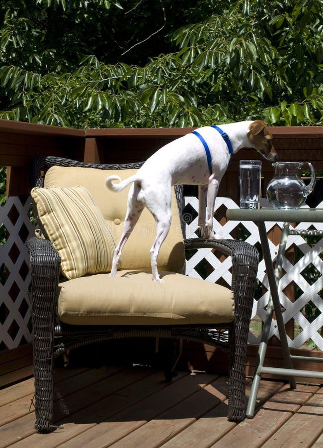 Thirsty Italian Greyhound stock photo
