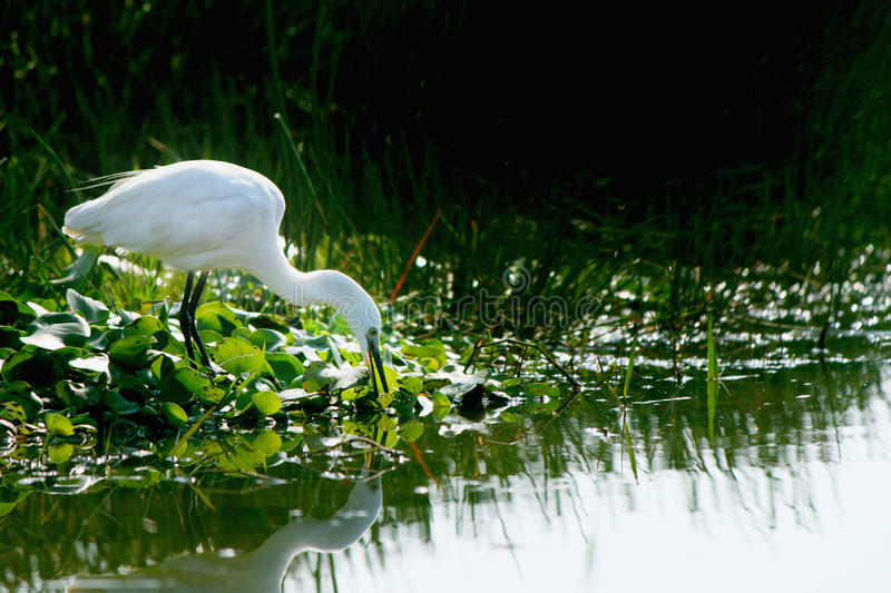 Thirsty little egret in Chilika bird sanctuary stock images