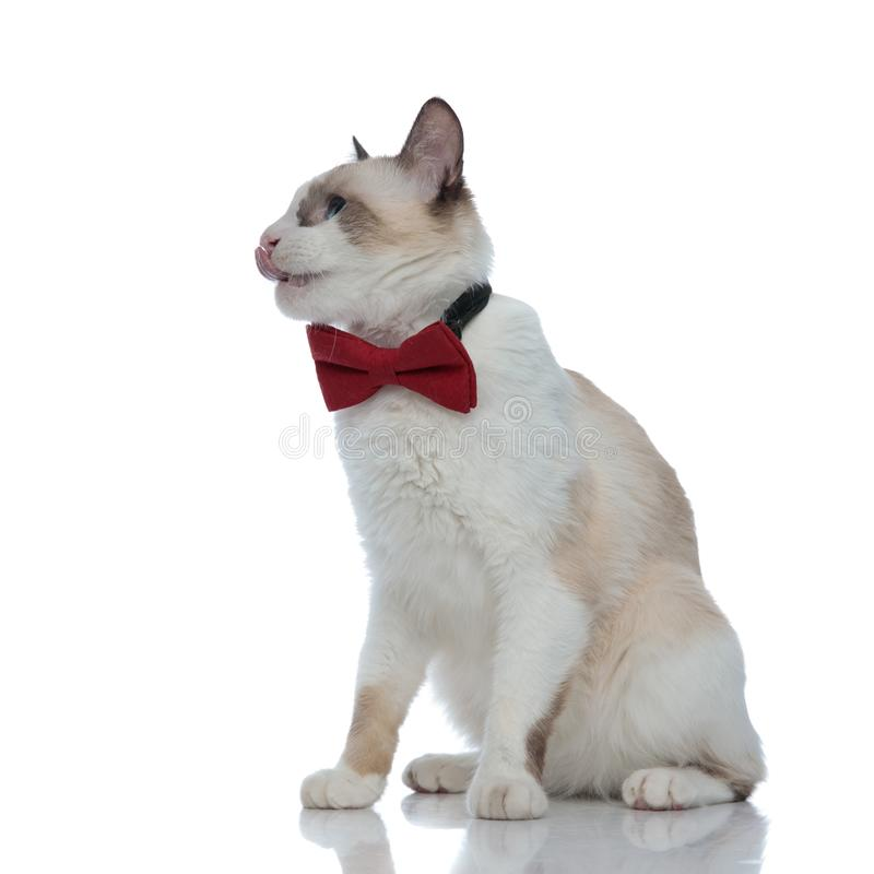 Thirsty metis cat with red bowtie sitting and licking nose royalty free stock image