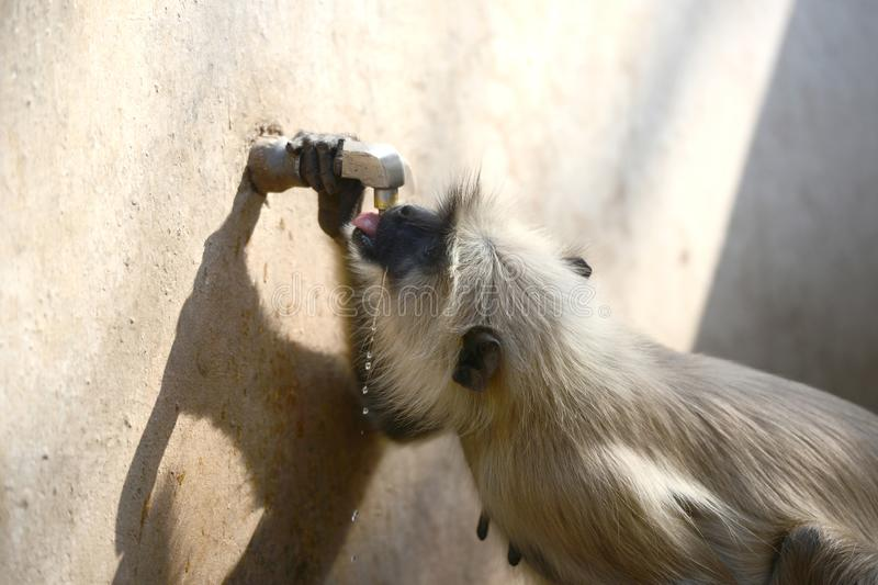 Thirsty Monkey drinking water from Tap. Closeup stock image