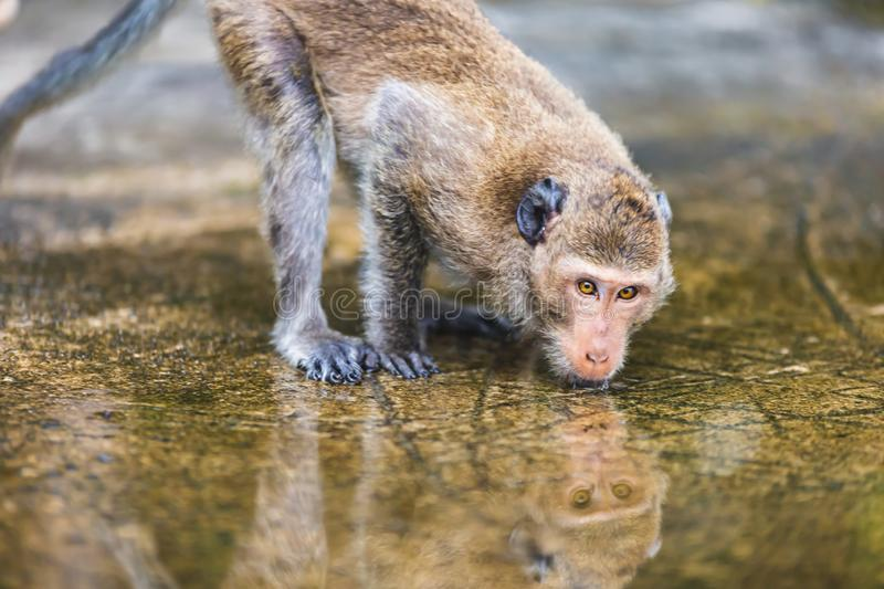 Thirsty monkey rehydrates from puddle. Thirsty monkey crouches on a textured stone promenade sipping from a shallow puddle on Koh Chang Island, Thailand stock photography