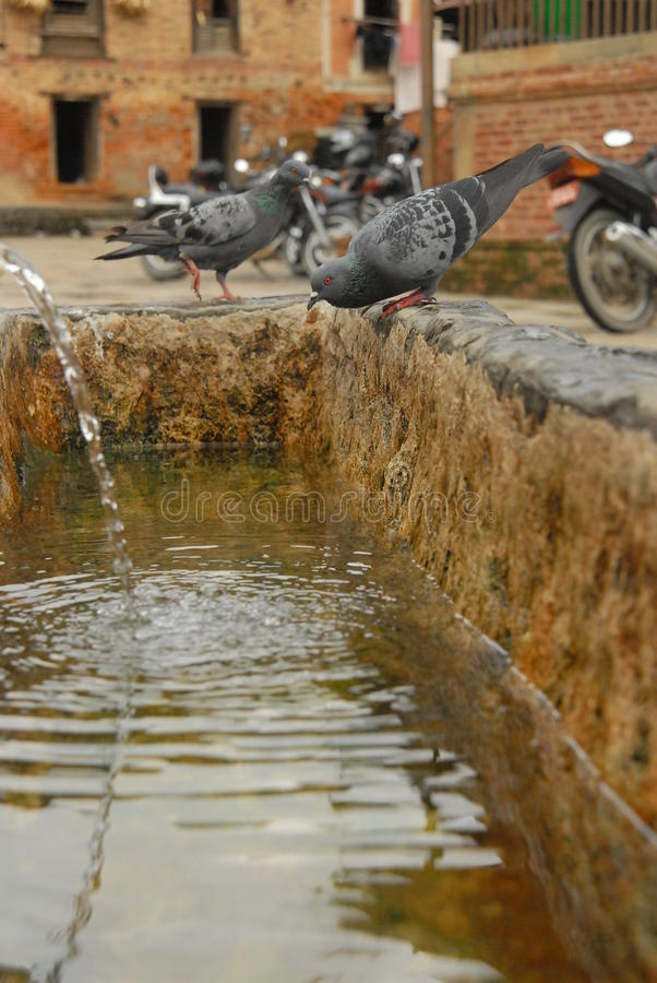 Thirsty pigeon royalty free stock photography