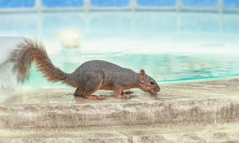 Thirsty squirrel taking a drink from swimming pool royalty free stock images