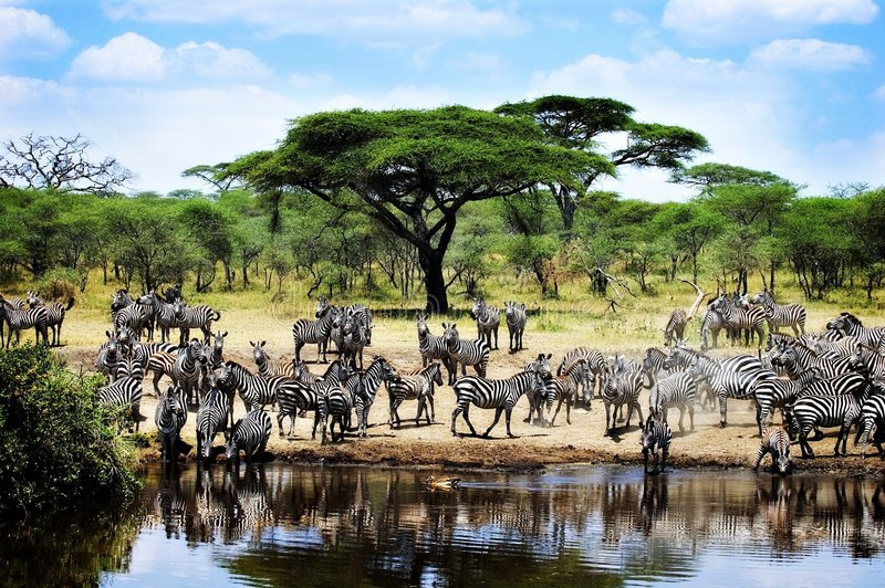 Thirsty Zebras. Several zebras drinking from small river in Africa royalty free stock images