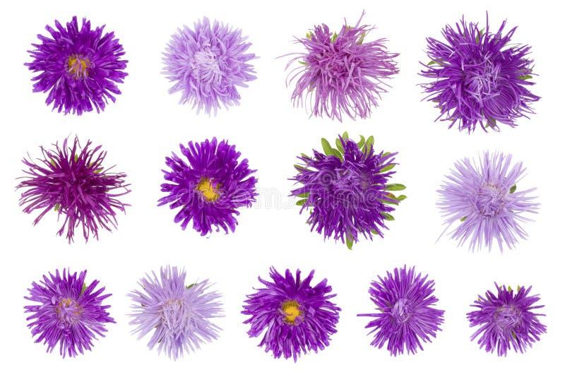 Thirteen needle terry purple autumn flowers. royalty free stock photo