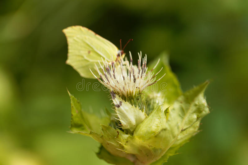 Thistle капусты, oleraceum Cirsium стоковые изображения