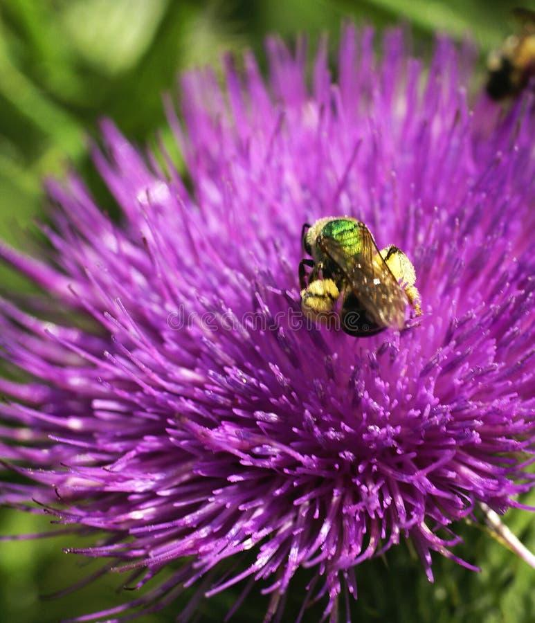 Thistle макроса пчелы Стоковые Фотографии RF