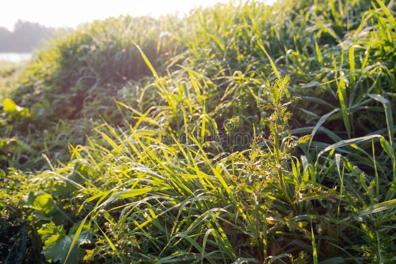 Thistle между росной травой на крае озера в графе стоковая фотография rf