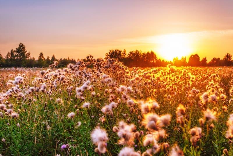 thistle поля в свете захода солнца стоковое фото rf