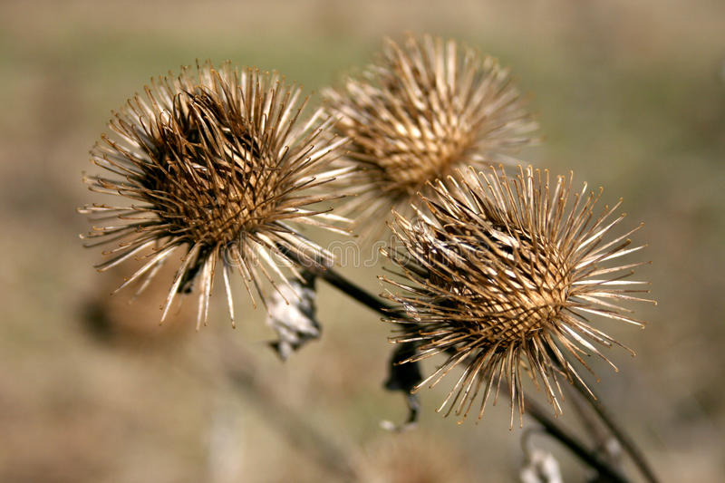 thistle royaltyfria foton