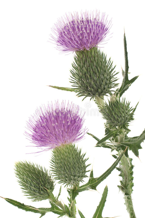 Thistle. Studio Shot of Purple Colored Thistle Isolated on White Background. Large Depth of Field (DOF). Emblem of Scotland. Symbol of Nobility stock image