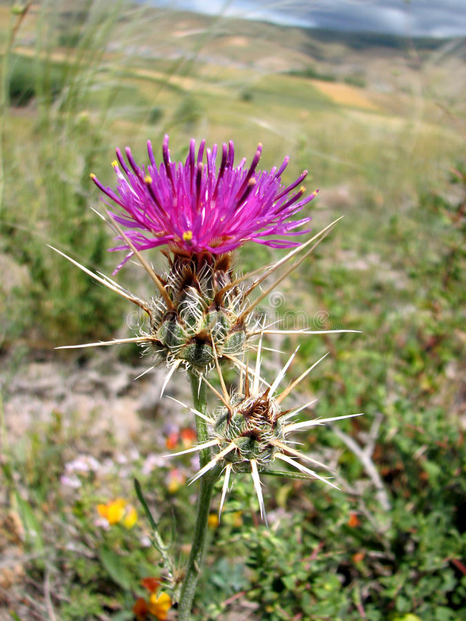 Download Thistle stock photo. Image of ecology, green, leaf, color - 16947114