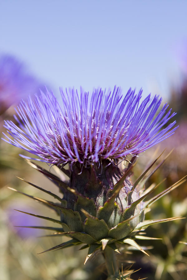 Download Thistle stock photo. Image of beautiful, bright, flower - 19997402