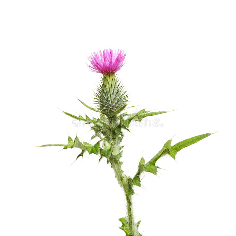 Free Thistle Royalty Free Stock Photo - 21281215