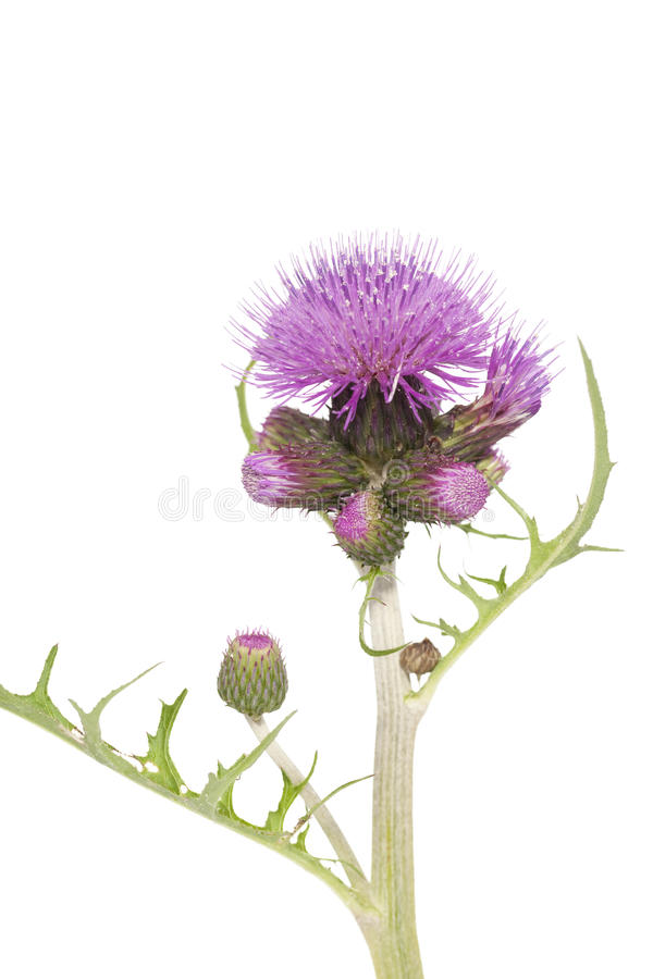 Free Thistle Stock Images - 21781694