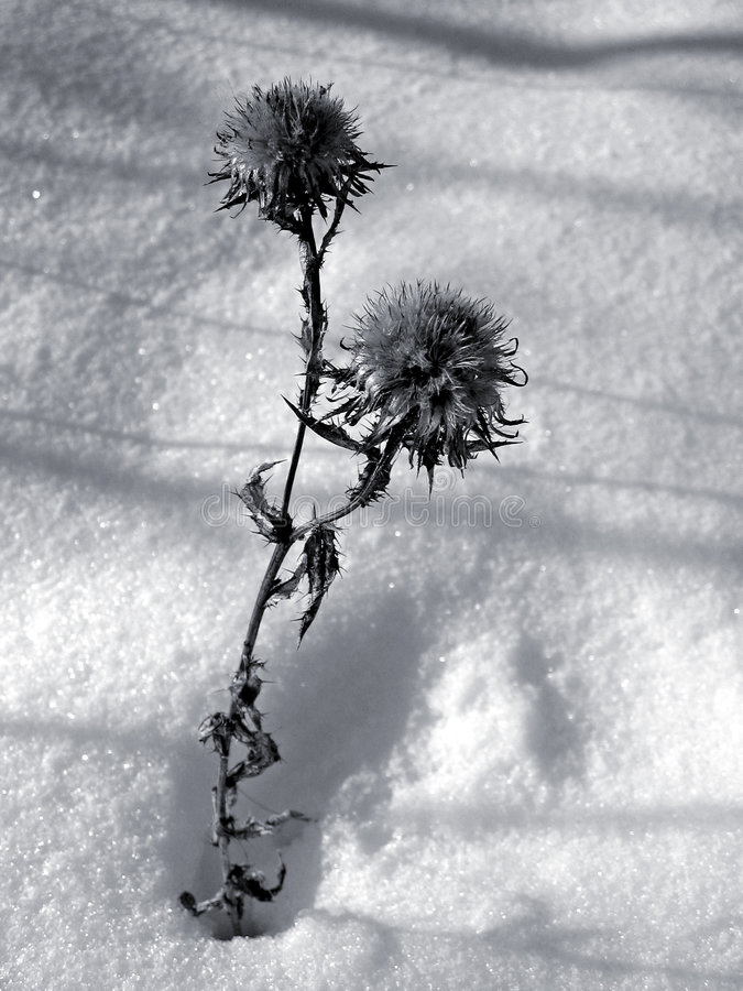 Download Thistle stock image. Image of plant, white, cold, flora - 80039