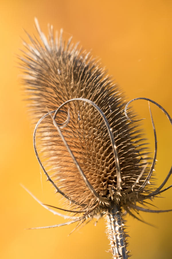 Free Thistle Stock Image - 93235791