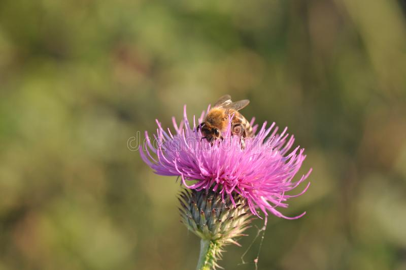 Thistle with bee royalty free stock image