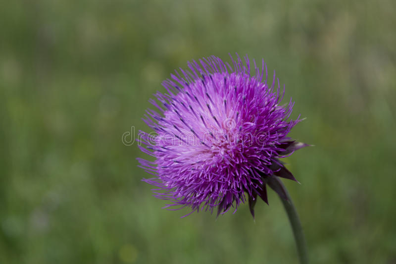 Thistle blooming stock image