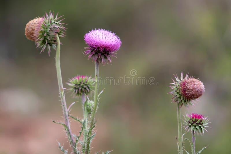 Thistle Blooms stock photo