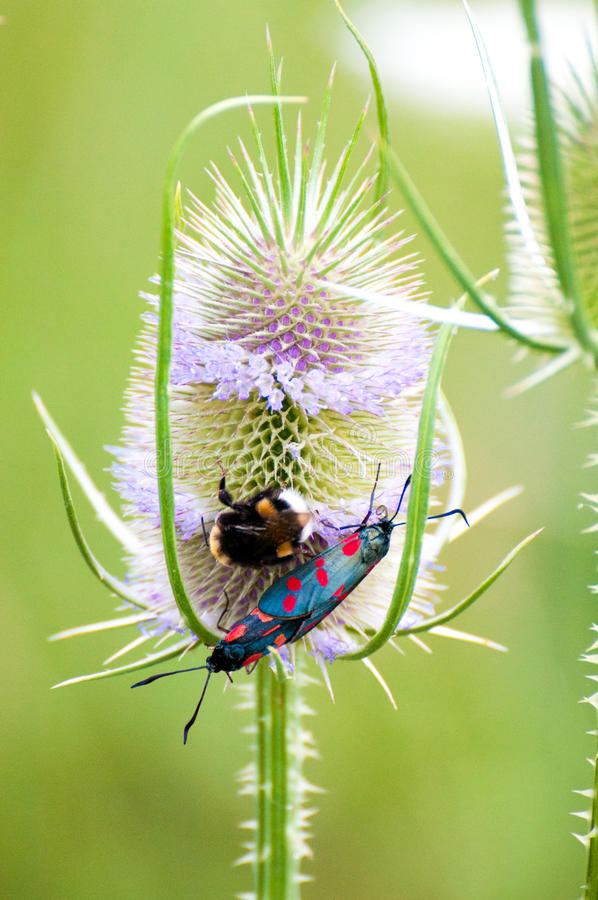Thistle bumble-bee royalty free stock photography