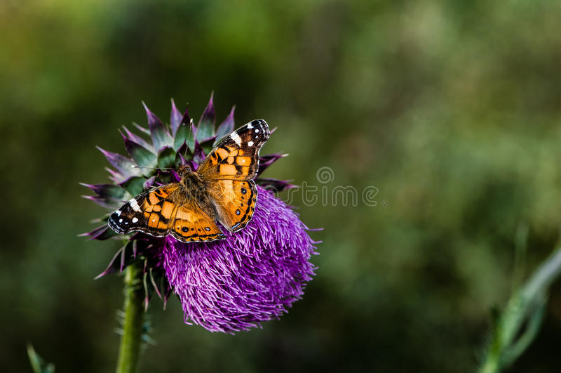 Thistle and Butterfly stock photos
