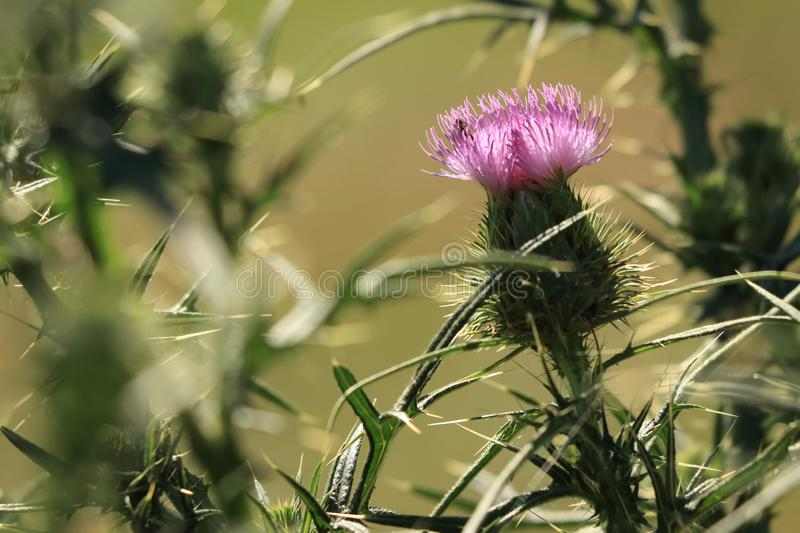 Thistle Carduus acanthoides and its pink and violet bloom, flower. Spiny plumeless thistle, welted thistle and plumeless thistle is weed and biennial plant stock photos