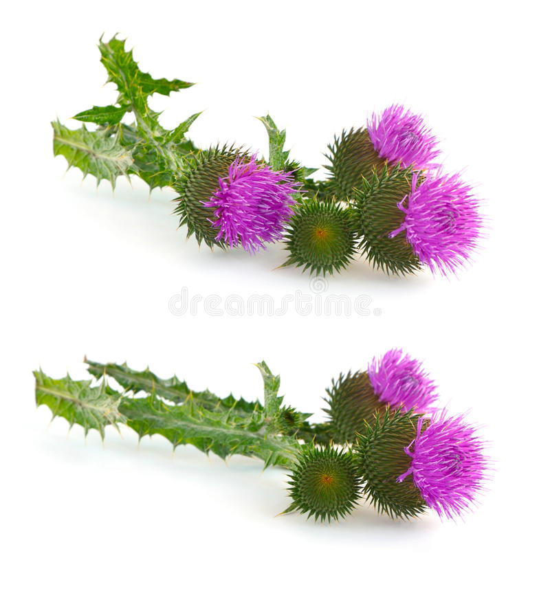 Free Thistle (Cirsium) Royalty Free Stock Images - 34029089